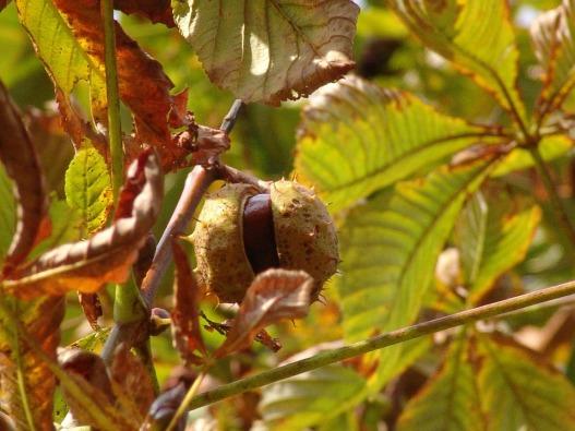 chestnut-13197_960_720