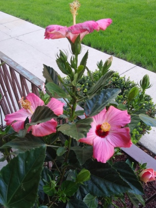 Hibiscus pic.jpg
